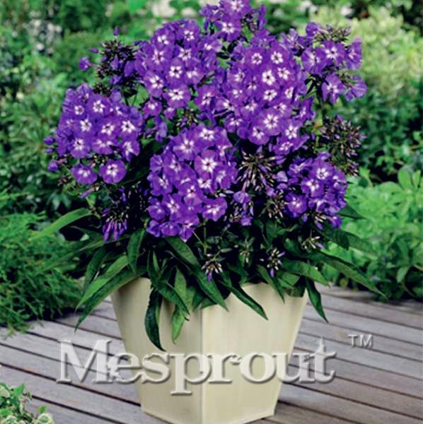 Rare Phlox ! 100pcs Bonsai Balcony Flower Phlox Seeds Sky Blue DIY Home Garden Free Shipping Japanese Sementes *