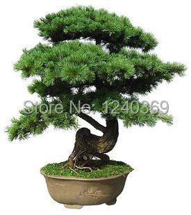 50 pcs/bag Japanese pine tree seeds bonsai seeds, - ALI-Express No.1 store
