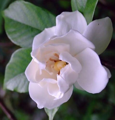 Hot! 50 seeds/bag Jasmine seed indoor plants perennial Jasmine flower seeds bonsai seeds free shipping(China (Mainland))