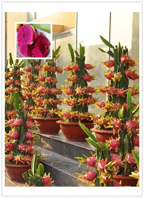 Achetez en gros mini cactus en ligne des grossistes mini - Arbre fruit du dragon ...