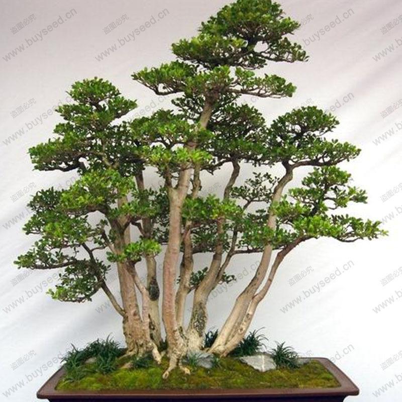 Online kaufen gro handel evergreen indoor plants aus china for Evergreen pflanzen