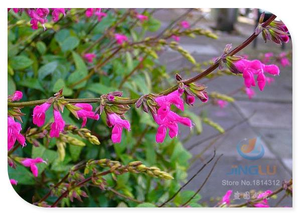Salvia chiapensis, Meadow Sage, 100 seeds, magenta blooms, shinyfoliage, winter flowering, filtered sun, hummingbird fave(China (Mainland))