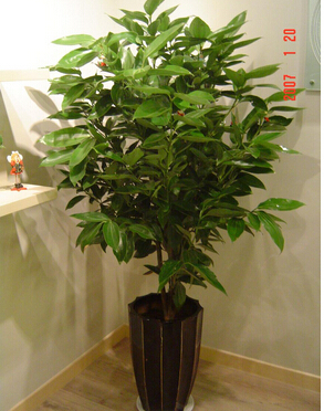 Indoor Cinnamon Tree