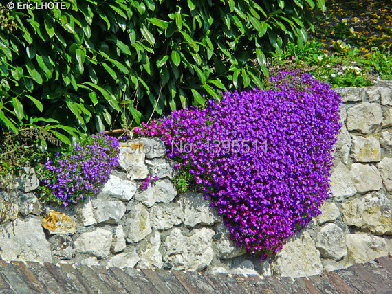 100 Rock Cress Aubrieta Cascade Purple FLOWER SEEDS Deer Resistant Superb perennial ground cover flower seeds