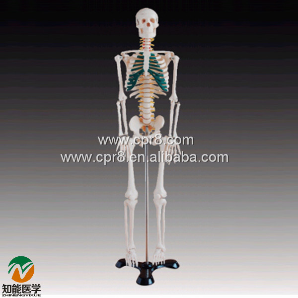 BIX-A1004 85cm Human Spinal Nerves Skeleton model<br><br>Aliexpress