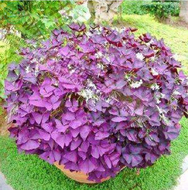 Shamrock plantes promotion achetez des shamrock plantes for Plante exterieur fleur rouge