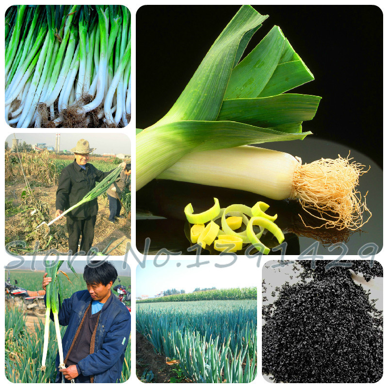 100 pcs / bag Sterilization vegetable seeds, Giant garlic, leek seeds, China green onion, Giant Onion Seeds, Garden Bonsai Plant(China (Mainland))