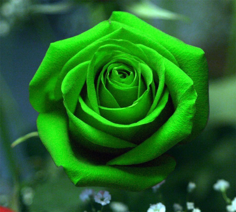Free shipping 100 pcs Seeds Chinese Green red pink Rose Seed For Lover Green Rose Seed bonsai garden(China (Mainland))