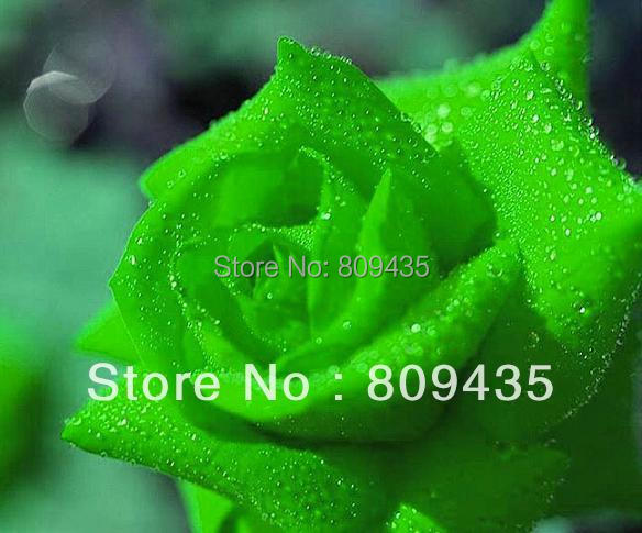 200pcs of green color rose seeds Chinese flower seeds Free Shipping