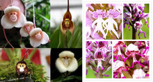 Flower pots planters 20 seed Monkey face orchids seeds man orchid Multiple varieties Bonsai plants Seeds for home & garden