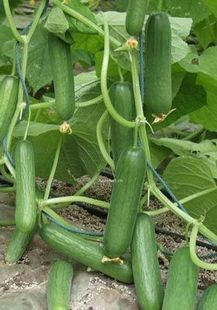 product Without thorns fruits of cucumber seeds mini 20seeds (buy 3 pack of this kind get extra 1pack for free)