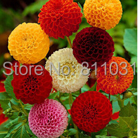 100 Dahlia seeds - Pompon~beautiful gardens, gorgeous flower , mix color bonsai plant free shipping