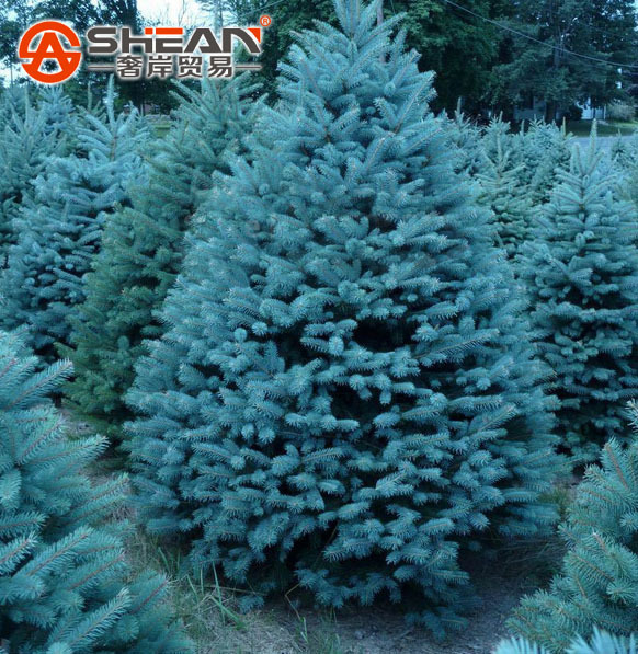 A Pack 100 Pcs Blue Spruce Seeds Picea Tree Potted Bonsai Courtyard Garden Bonsai Plant Pine Tree Seeds(China (Mainland))