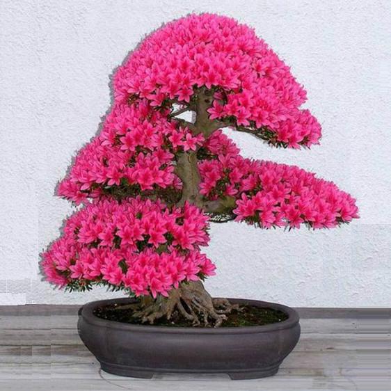 Bonsai Tree japanese sakura seeds 10pcs ,bonsai flower Cherry Blossoms(China (Mainland))