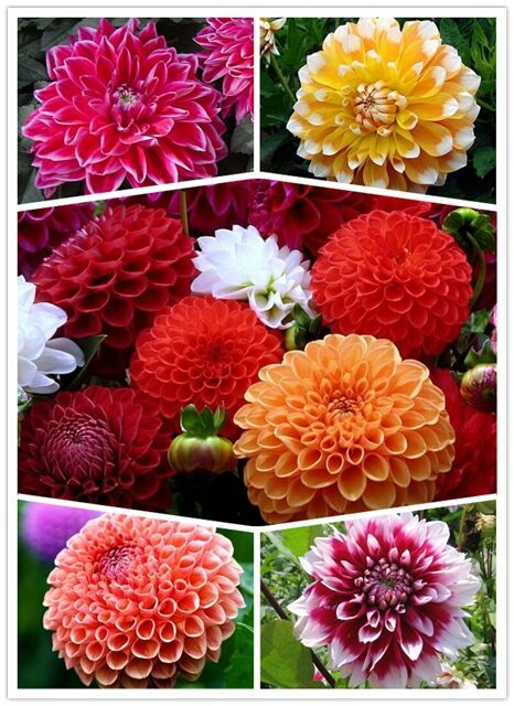 1 of the original package of 35 seeds mixed Dahlia hybrida * * dahlia flowers * * mystery gift + FREE SHIPPING(China (Mainland))