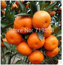 Buy 100 Pcs Mini Potted Edible Fruit Seeds Bonsai Orange Seeds China Climbing Orange Tree Seeds Free for $1.03 in AliExpress store