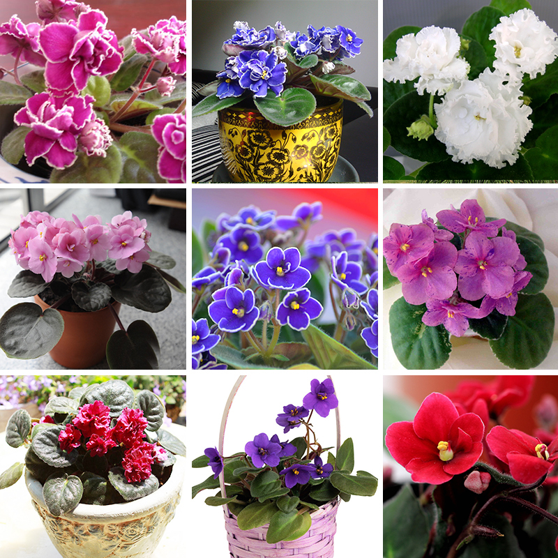 Гаджет  50 PCS a Variety of Colors Violet Seeds Garden Plants(Red Blue Purple White)Violet Flowers Perennial Herb Matthiola Incana Seed None Дом и Сад