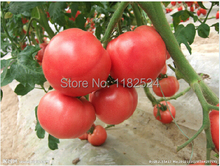 Buy 100pcs Chinese HEIRLOOM Tomato Seeds bonsai fruit vegetable seeds for $11.04 in AliExpress store