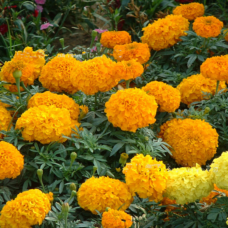 Free Shipping Authentic Marigold seeds gold chrysanthemum seeds rare color new arrival DIY Home Garden flower plant 100g / Bag(China (Mainland))