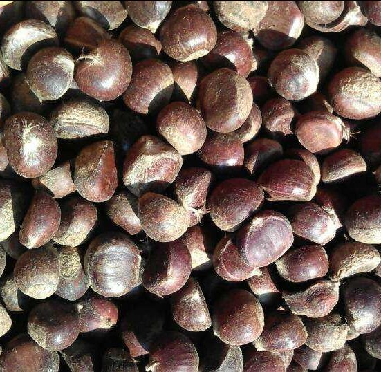 New Tangshan authentic Qianxi Chestnut fresh raw sugar fried chestnuts roasted chestnut oil wholesale pellets dedicated the whol(China (Mainland))