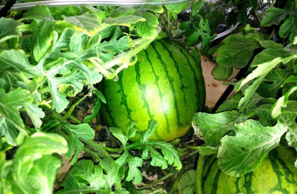 watermelon_zps6f874bc2