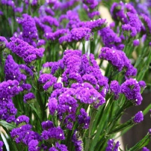 http://g02.a.alicdn.com/kf/HTB1Guf1IXXXXXaOXXXXq6xXFXXXP/100-pcs-lot-Outdoor-Plants-Seeds-free-shipping-wkolesale-100-Limonium-Statice-Purple-Attraction-Seeds-Garden.jpg