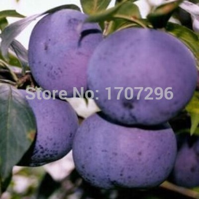 Delicious Round Plums Fruit Tree Seeds Good Quality - 5 pcs / lot(China (Mainland))