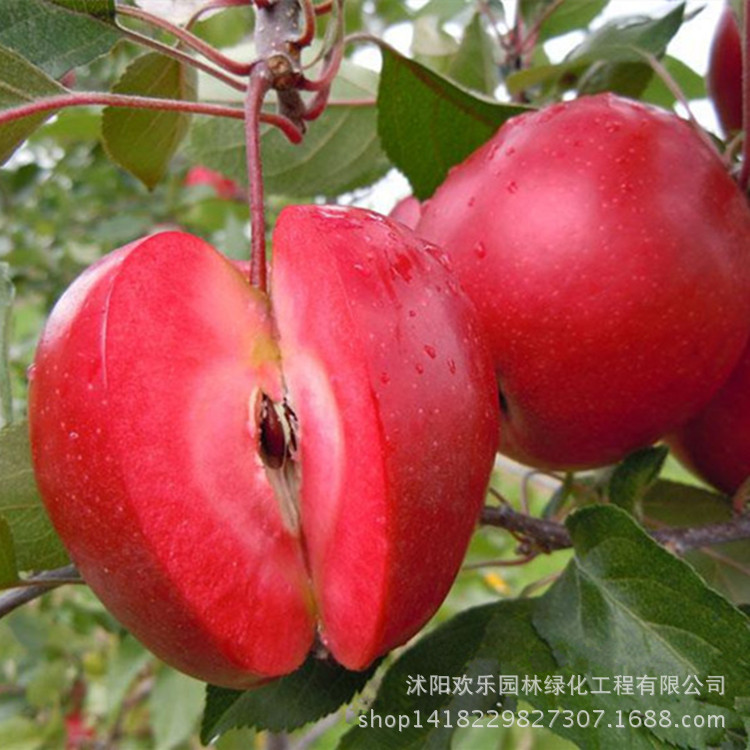 Apple red apple fruit love red meat, potted fruit trees can be planted fruit trees 10 Seeds/Pack(China (Mainland))