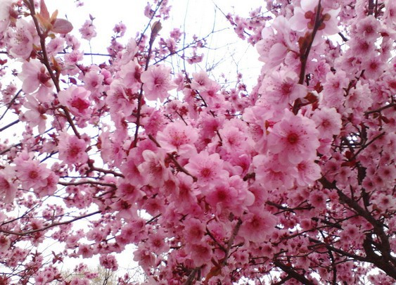 (Mix minimum order $5) 1 pack about 50 pieces Pink Cherry Blossoms tree Seeds Sakura Seeds,Colour cherry Free Shipping(China (Mainland))