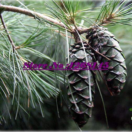 Quality Species,10pcs/lot Korean Pine,Pinus koraiensis seed evergreen plant bonsai plant DIY home garden free shipping(China (Mainland))