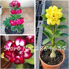 Buy Hot 100% true Desert Rose Seeds Ornamental Plants Balcony Bonsai Potted Flowers Seeds Adenium Obesum Seed -5 Pcs Free for $1.01 in AliExpress store