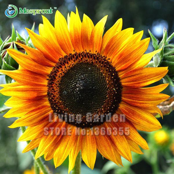 20PCS Sunflower Seeds Dwarf Sunflower Seeds Sunflower Series Dwarf Sunflower Seeds Easy to Plant Flower seeds(China (Mainland))