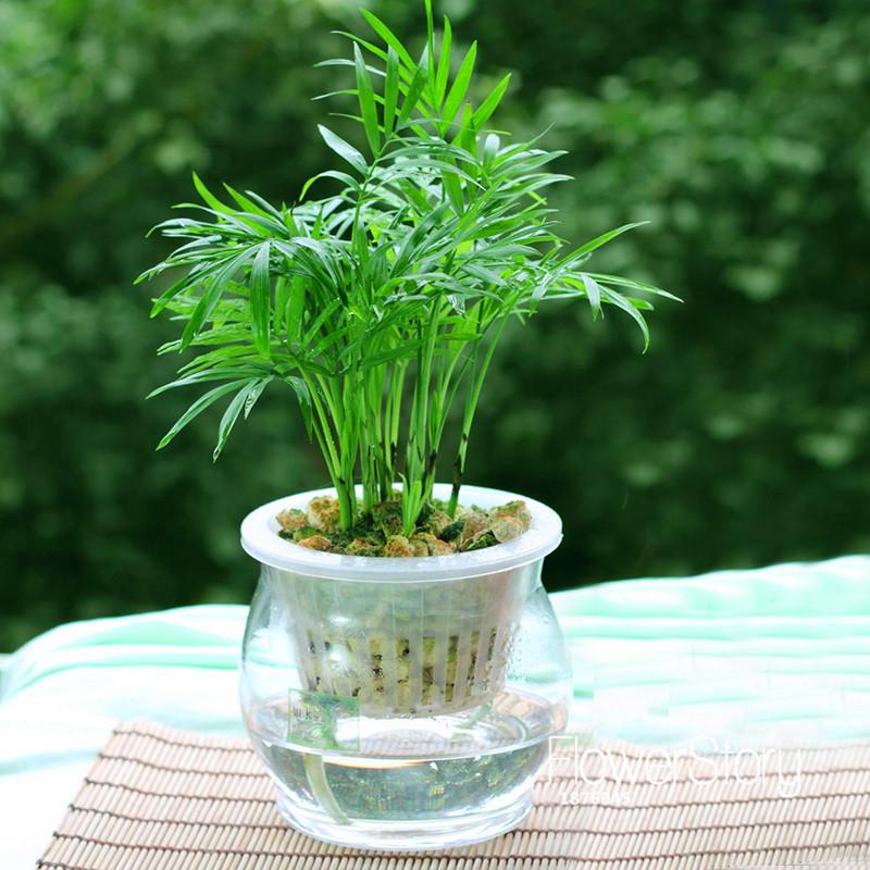 P rdida de la promoci n 6 tipos de bamb de la suerte for Tipos de plantas para macetas