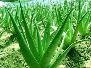 500g pure natural Aloe powder mask powder(China (Mainland))