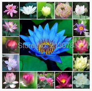 Various colors bowl lotus lotus seeds, water lily seeds potted lotus pond, 30 particles / bag(China (Mainland))
