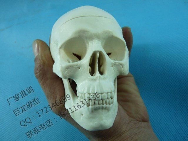 human skull model Skeleton model human body decoration hand-done toy the human body(China (Mainland))