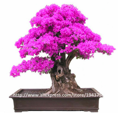 Top Selling Colorful Bougainvillea Spectabilis Willd Seeds Bonsai Plant Flower Seeds Perennial Bougainvillea seeds - 100 PCS(China (Mainland))