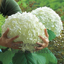 Promotion!!! 100 pcs / bag White Hydrangea Flower seeds,Pure color ,lasting,gorgeous balcony or yard flower plant(China (Mainland))