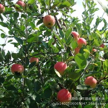 Free Shiping Bonsai Fuji Apple Tree Seeds, (60 pieces Fresh Apple seeds), PLUS MYSTERIOUS seeds 20pcs/lot RS28(China (Mainland))