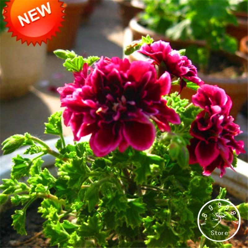 Acquista all 39 ingrosso online geranio semi di fiori da for Vendita semi fiori