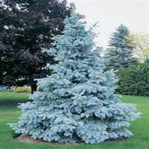 Tree seeds New Arrival Home Garden Plant 100 Seeds Evergreen Colorado Blue Spruce Picea Pungens Glauca Tree Seeds Free Shipping(China (Mainland))
