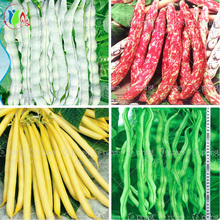 10pcs/bag bean seeds vegetable seeds Phaseolus vulgaris plant, green beans seeds,Natural growth,plant for home garden(China (Mainland))