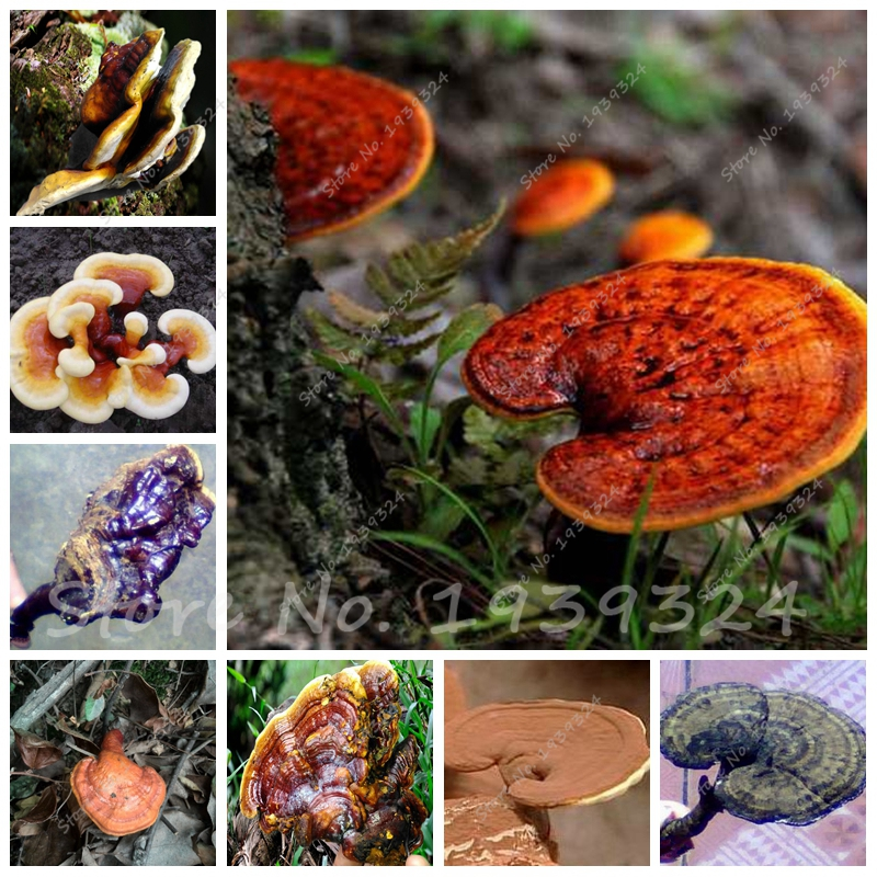 Выращивание древесного гриба рейши 98