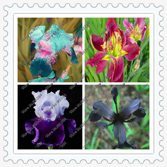 200pcs Iris Seeds, popular perennial garden flower ,gorgeous cut flower rare flower seeds for home garden planting orchid(China (Mainland))
