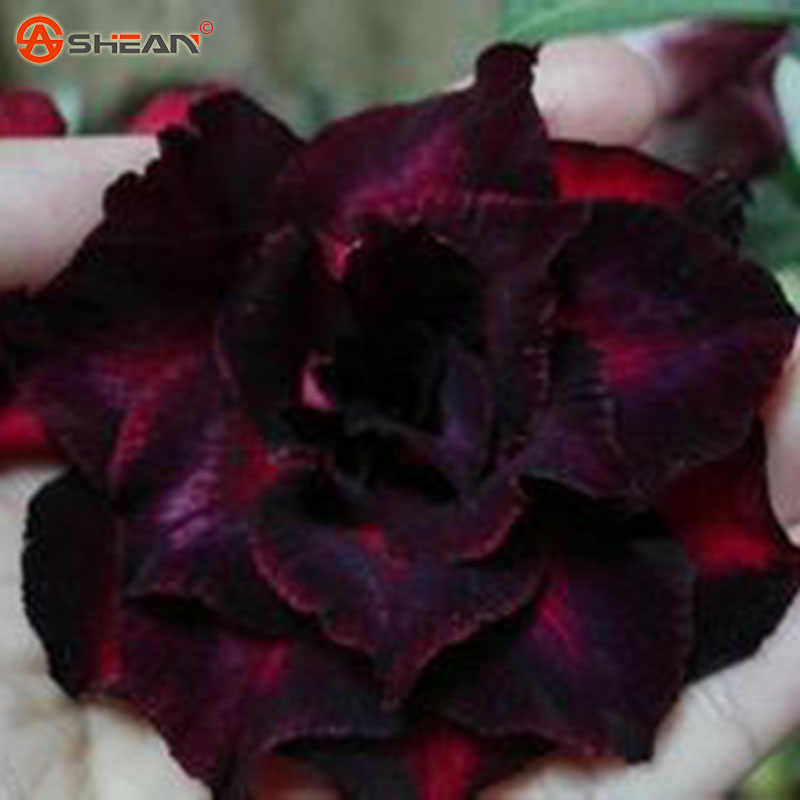 Crimson Desert Rose Double Petals Flowers Seeds Potted Flowers Seeds Balcony Adenium Obesum Seeds 1 Particles / lot(China (Mainland))
