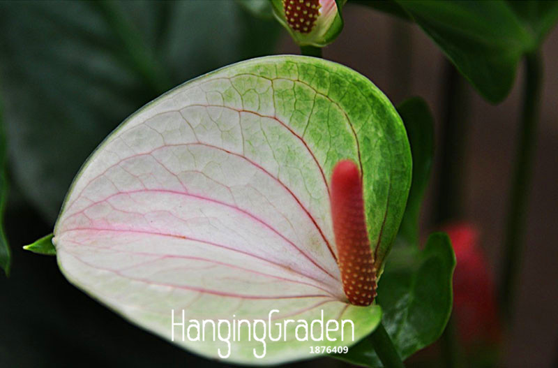 100 Pieces/bag Rare Flower Seeds Anthurium Seeds Balcony Potted Plant Anthurium Flower Seeds for DIY Home Garden,#YLILDI