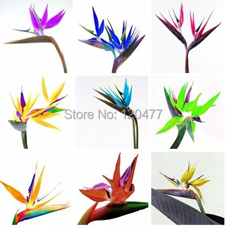 Strelitzia reginae seed bird of paradise seed Strelitzia 100 pcs bag