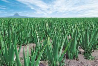 500g natural dried Aloe powder(China (Mainland))