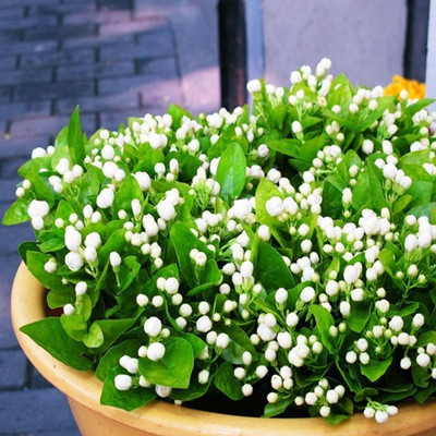 20 seeds/pack Balcony potted jasmine flower seeds easy plant seasons sowing flowers  -  Wu Haimei's store store