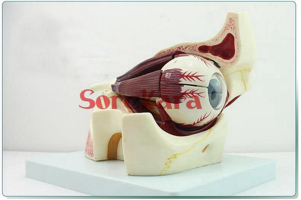 NEW Magnify Human Anatomical Eyeball and Eye Socket Anatomy Medical Model<br><br>Aliexpress